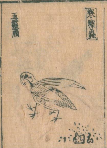 寒号虫(鶡鴠)插图1
