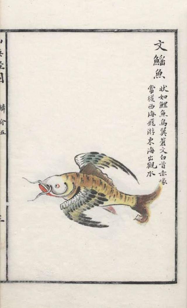 文鳐鱼(飞鱼)插图