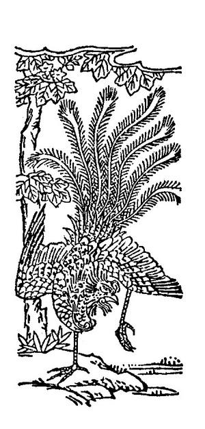 凤凰插图(2)