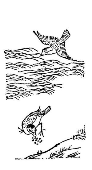 嗽金鸟插图