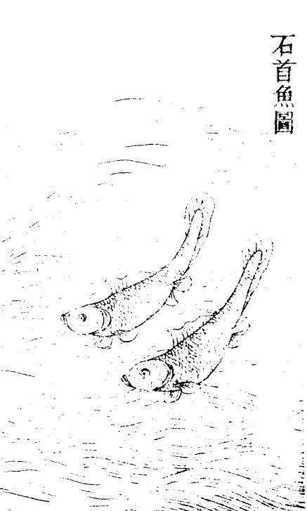 石首鱼插图