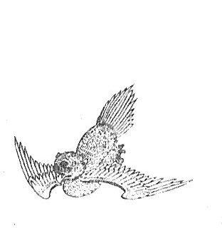 䲦鸟插图1