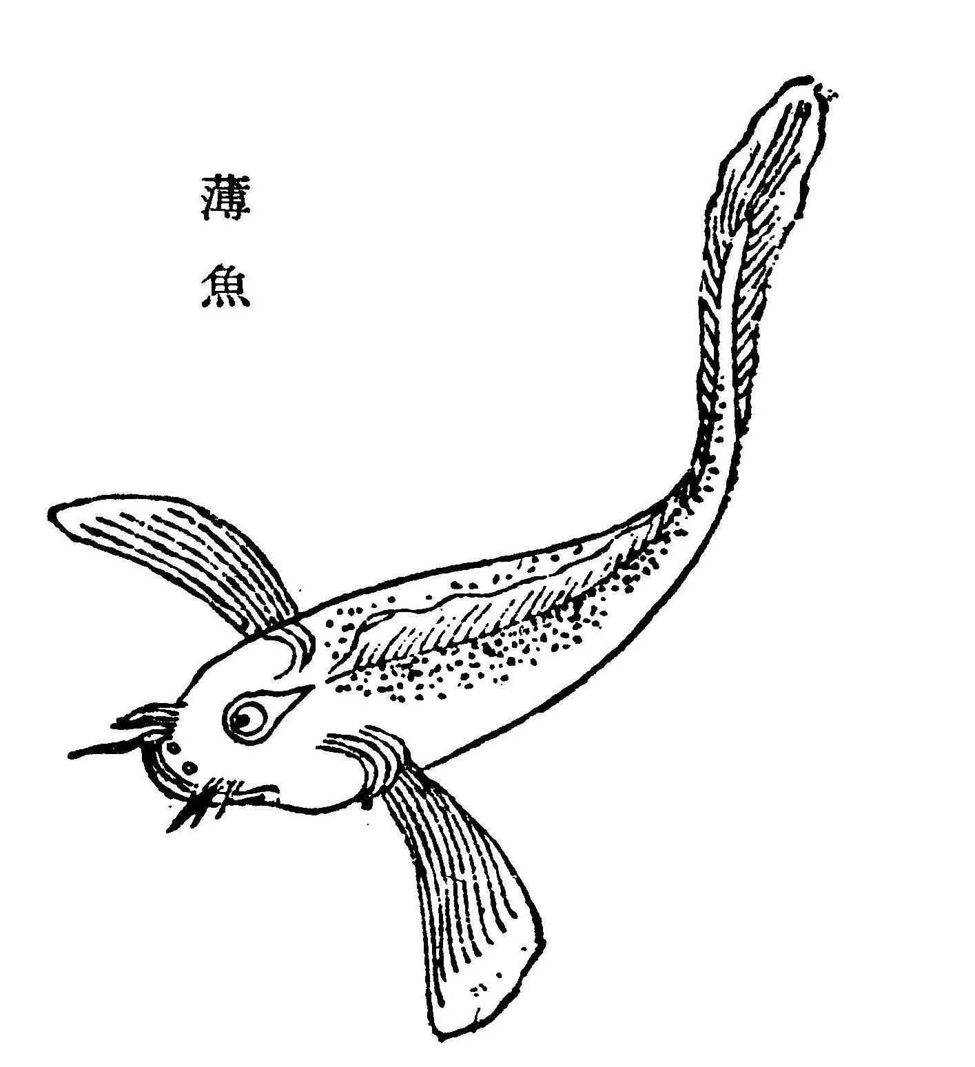 薄鱼插图(1)
